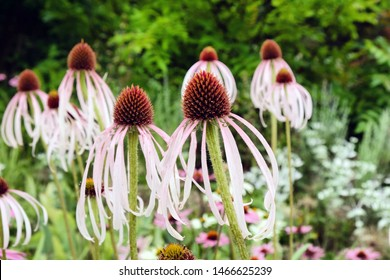 Echinacea pallida, or commonly called Pale Purple Coneflower,  in bloom in the summer months