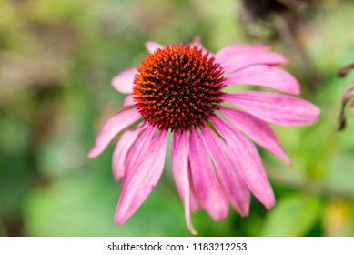 Echinacea plant in Bressingham Garden - England. Echinacea is a group of herbaceous flowering plants in the daisy family.
