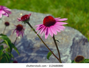 Echinacea or purple coneflower is native to the American grasslands and tall grass prairie and is used in gardening but also as an herb to help build immune system