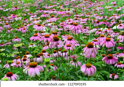 Echinacea or purple coneflower is native to the American grasslands and tall grass prairie and is used in gardening but also as an herb to help build immune system. Image with near flower in focus
