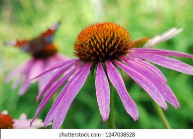 Echinacea is purple. Medicinal plant to enhance immunity. Medicinal garden.