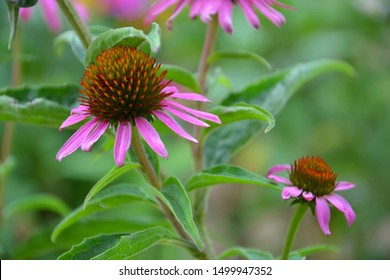 Echinacea purpurea blooming in late summer / early autumn. It is an important flower - herb - in medicine, perfect for immunity. Purple wildflower outside on garden. Echinacea for background.