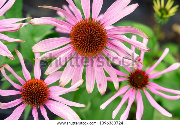 Echinacea purpurea, close up of flowering heads. Echinacea is used in traditional herbal medicine, common know as eastern purple coneflower. Good plant for bees and butterflies. Top view.