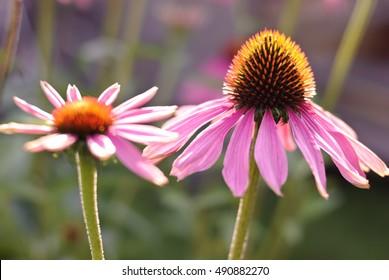 Echinacea purpurea flower. Shallow DOF. Echinacea purpurea