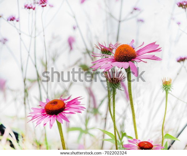 Echinacea purpurea flowers against a soft white background.  these coneflowers may have medicinal properties strengthening the immune system