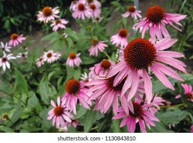 Echinacea purpurea flowers in garden, commonly known as eastern purple coneflowers or hedgehog coneflowers