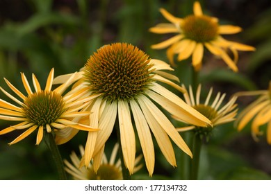 Echinacea purpurea 'Harvest Moon' - Coneflower