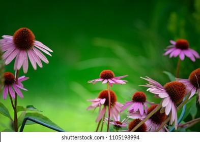 Echinacea Purpurea - Little Magnus