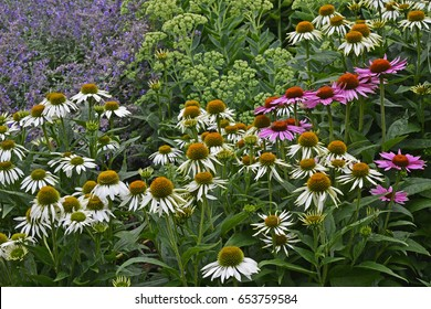 Echinacea purpurea 'magnus' and Echinacea 'White Lustre' growing in a flower border