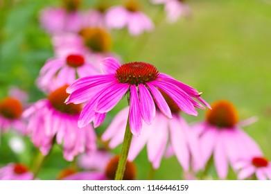 Echinacea purpurea, Purple coneflower, nice pink summer flower