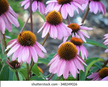 Echinacea purpurea or purple coneflowers