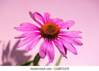Echinacea purpurea, red sun hat, flower