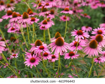 Echinacea purpurea (Ruby star coneflower)