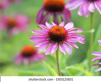Echinacea purpurea,flowering medicinal plant,rudbeckia,medicinal plant