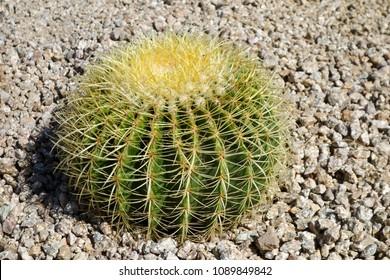 Echinocactus or Ferocactus Golden Barrel cactus in desert style xeriscaping