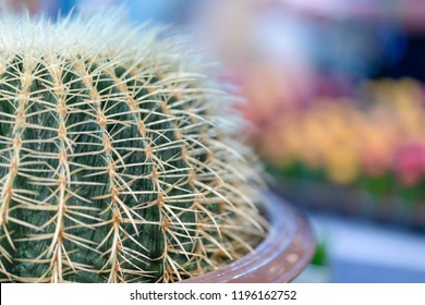 Echinocactus grusonii, Cactus planted in pots.