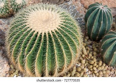 Echinocactus grusonii in the garden.