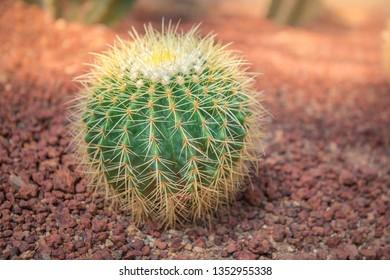 Echinocactus grusonii  in the garden, circular cactus, Golden Barrel Cactus, thorns of cactus on stone