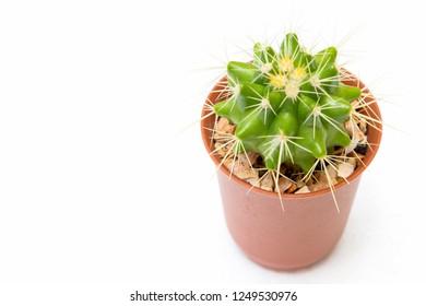 Echinocactus grusonii, golden barrel cactus, golden ball cactus.Cactus on white background isolated.