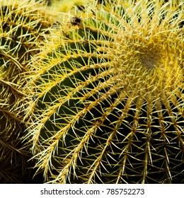 Echinocactus grusonii - golden barrel cactus detail, macro.
