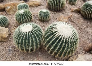 Echinocactus grusonii or know in Golden Barrel Cactus, Golden Ball