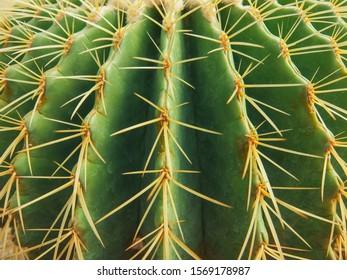 Echinocactus grusonii tree in gardening