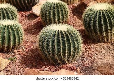echinocactus on brown soil