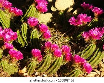 Echinocereus Blooms