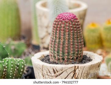 Echinocereus rigidissimus cactus in pot