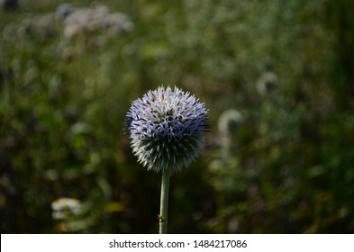 Echinops sphaerocephalus (names: glandular globe-thistle, great globe-thistle ) is a Eurasian species of globe-thistle belonging to the thistle tribe within the sunflower family.