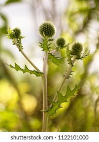 Echinops sphaerocephalus - Ripe seeds contain an alkaloid echinopsin with properties similar to strychnine. In folk medicine, drugs are used in muscular atrophy, nerves and neuralgia.