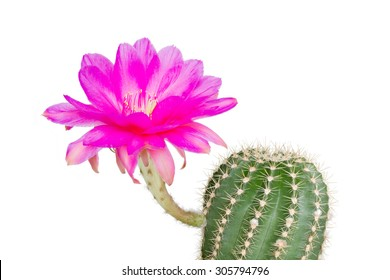 Echinopsis Hybride with pink blossom against white background