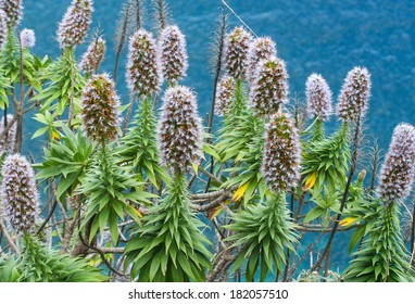 Echium candicans, commonly known as pride of Madeira in the family Boraginaceae, native to the island of Madeira, Portugal