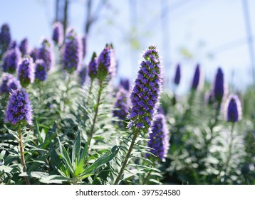 Echium candicans, commonly known as pride of Madeira, is a species of flowering plant in the family Boraginaceae, native to the island of Madeira.