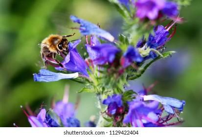 Echium vulgare and bee