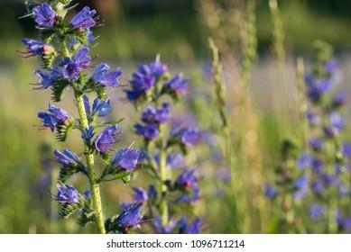 Echium vulgare -  viper's bugloss,  blueweed flowers macro selective focus