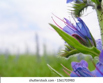 Echium vulgare, viper's bugloss, blueweed. Collect pollen in the meadow. Detailed image of the bee collecting pollen.