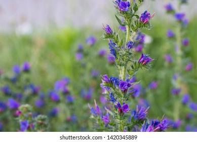 Echium vulgare — viper's bugloss, blueweed flowers closeup