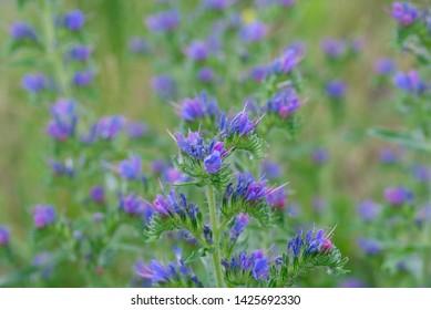 Echium vulgare  vipers bugloss, blueweed flowers closeup