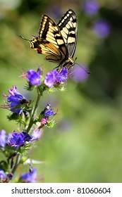 Echium vulgare (Viper's Bugloss or Blueweed ) with European Swallowtail butterfly Papilio machaon