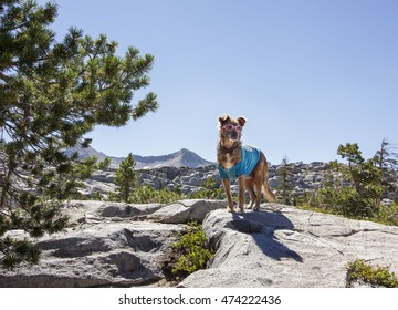 ECHO LAKE OVERLOOK, DESOLATION WILDERNESS, CALIFORNIA: Dog in sunglasses and shirt on mountain peak with trees and blue sky in the background.