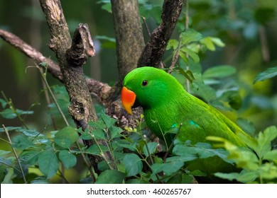 Eclectus Parrot among the leaves