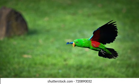 Eclectus parrot in flight. Flying male Eclectus parrot with grassland background. Australia