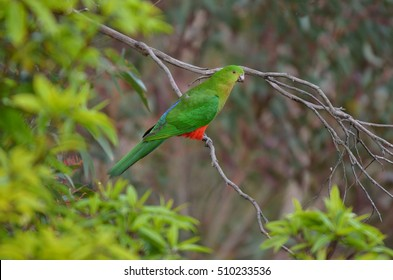 Eclectus parrot Male (green) (Eclectus roratus) is a parrot native to the Solomon Islands, Sumba, New Guinea and nearby islands, northeastern Australia and the Maluku Islands (Moluccas).