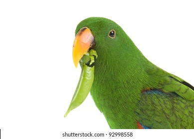Eclectus Parrot, one year old, eating a pea pod on white background
