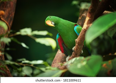 Eclectus parrot, Eclectus roratus, green, colorful parrot native to Solomon Islands, Sumba, New Guinea. Male. Bird in captivity.