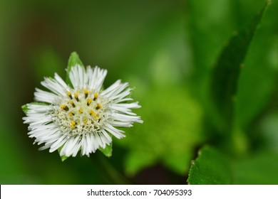 Eclipta prostrata (False daisy, Whitehead, YerbaDeTajo, Herba Ecliptae) ; An outstanding textures of full blooming flower, white petals around, pollen & seed inner circle. close up, natural sunlight.