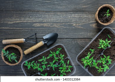 Eco friendly pots with young tomato sprouts on wooden background, garden trowel and rakes