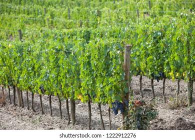 Eco Vineyards, Italy