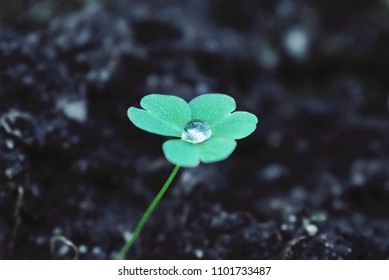 Ecological and environmental awareness. Natural growth. Clover with dew drop. Ecological and life thinking concept.